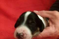 Nr. 1 Black parti girl 1 week hoofd