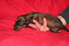 Nr. 4 Black fringed red boy 1 week body