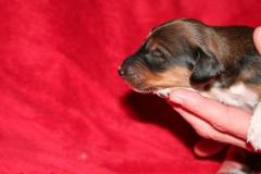 Nr. 4 Black fringed red boy 1week hoofd